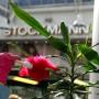 Hansan pölyinen kasvi