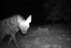 hyeenajoutomaa
