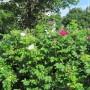 12. Ruusuja
