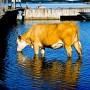 Oiwan kesäkuva lehmästä